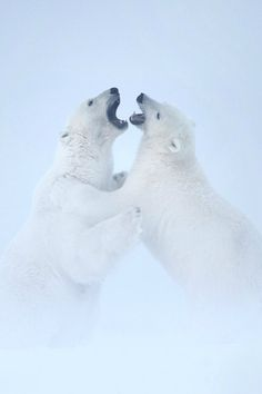 Polar Bear Fight by Matthew Studebaker