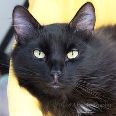 Hiya, I'm Minnie! I'm a medium-sized, 2-year-old, spayed female cat with a medium-length, black coat. I am a MAJOR lap cat, so I sure hope you love to cuddle as much as I do! I just can't get enough attention, and you will want to give me tons of pets because my coat is so beautiful. I have my playful side, too, and enjoy batting at fun, wiggly toys like cat teasers. Ask for Minnie using ID number A561218.