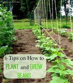 6 Tips on How to Plant and Grow Beans | Including when to plant, tips to keep the birds out, and companion planting! Because knowing how to replenish your food supply without stores is the ultimate way to prepare!
