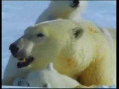 ▶ Polar Bears & Their World Of Ice - YouTube - For those of you who don't know - penguins do not live at the north pole but only in the south pole!