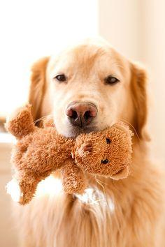 Golden Retriever Pup ~ Classic Look Love My Dog, Rescue Dogs, Pet Dogs, Dog Cat, Doggies, Pet Pet, Baby Dogs, Perros Golden Retriever, Golden Retrievers
