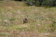 Liebre Moose, Fox, Animals, Towers, Elk, Animais, Animales, Animaux, Mousse