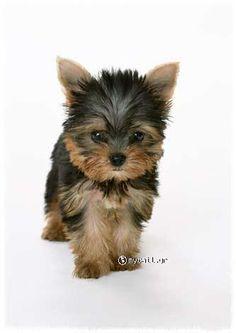 (Yorkshire Terrier)