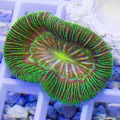 Trachyphyllia 45€ Este precioso ejemplar de Trachyphyllia está en nuestro catalogo de corales ahora mismo. La fotografía está realizada con luz normal (sin luz actínica). Imaginaros como será... Consultad mas corales en nuestra pagina web! www.elpezpayaso.com Acuario Marino Coral LPS