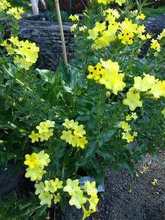 Spåblomst - Amebia pulchra (Tyrkia, Kaukasus, nord-Iran) - Boraginaceae  Rubladfamilien.