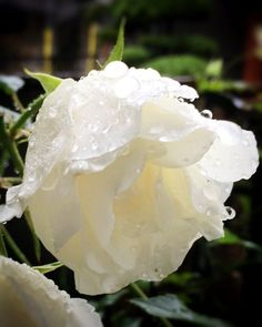 #Dew #Dewdrops #Raindrops #Waterdrop #FLOWERS #White #Roses #Rose (Source:  クラリス (@kuraris3) | Twitter  |  11 May 2016  |  THIS Post:  11 May 2016 (Wednesday)