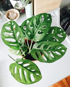 Gek op gatenplanten? Dan is de monstera obliqua ideaal voor jouw urban jungle interieur. // via @alphabeticallife