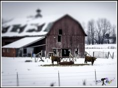 """""""Dairy Air""""    An old barn in Wisconsin offers a place of refuge from the cold and snow for these feeding cows. Photo by Paul W. Koester"""