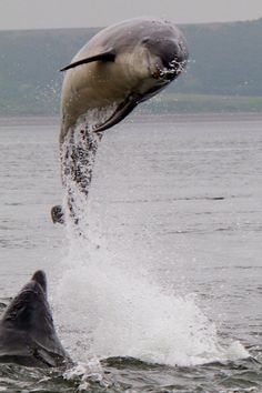 Young Moray Firth Bottle-Nosed Dolphin - Blast Off!!