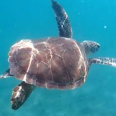 7ad843618cb ...  Rebuild  Revive  Recover  HurricaneRelief  Caribbean  travel  gopro   sealife  snorkeling  nature  turtletuesday  seaturtle  turtle  maho  dive+