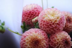 The sweetest pink-and-yellow dahlias. (Oh, those petals.)
