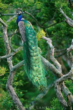 Peacock male in tree, Pavo cristatus, Bandipur National Park, Western Ghats, India