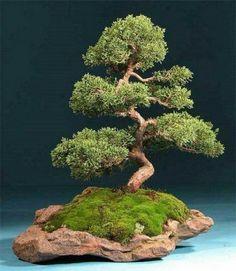 Bonsai Trees : More At FOSTERGINGER @ Pinterest