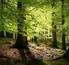 New beech leaves, Grib Forest in the northern part of Sealand, Denmark.