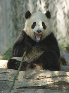 Tai Shan (photo by pixelmasseuse) I saw this panda in the zoo when tai shan was just a cub!!!!!!!!!