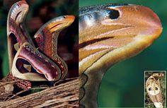 13. La polilla Atlas, se defiende imitando la apariencia y el comportamiento de una serpiente.