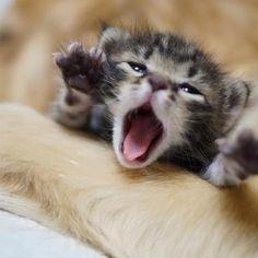 Golden Retriever adoptiert Katzenbaby