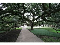 Century oak tree on the campus of Texas A&M University in College Station, Texas. The tree was one of the first trees planted on the campus. Texas A&m, Top 10 Colleges, College Station, College Campus, College Life, Save The Planet, Belle Photo, Trees To Plant, Beautiful Places