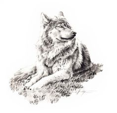 WOLF LYING DOWN Pencil Drawing art Print Signed by Artist D J Rogers via Etsy