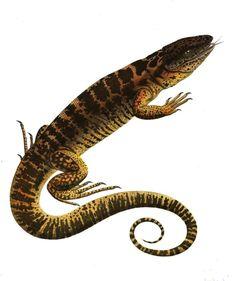 Le #tupinambis est un genre de saurien, sorte de gros lézard. Ce #reptile de grande taille est principalement carnivore et se rencontre en Amérique du sud #numelyo #bestiaire