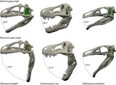 Optimal and maximal jaw gapes for the three dinosaurs in the new study: Allosaurus fragilis, Tyrannosaurus rex and Erlikosaurus andrewsi