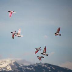 Dove Set, Pigeon Loft, Racing Pigeons, Winter Is Coming, Fighter Jets, Bird, Animals, Instagram, Animales