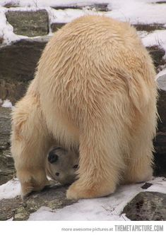 Haha-polar-bear-playing- I see you!
