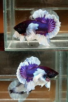 AquaBid.com - Elephant Ear half moon plakat betta