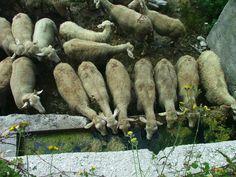 pecore all'abbeveratoio