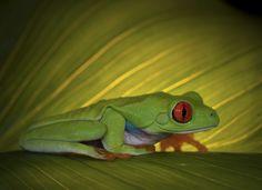 Mysterious - agalychnis callidryas-Red eye tree frog