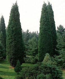 Trees Planet: Cupressocyparis leylandii - Leyland Cypress Cypress Trees, Evergreen Trees, Leylandii Hedge, Monterey Cypress, Vascular Plant, Ornamental Plants, Planting Seeds, Hedges, Horticulture