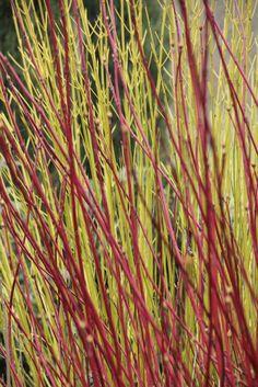 Cornus alba 'Sibirica' (Red stem) and Cornus sericea 'Flavarimea' (Green/Yellow stem)