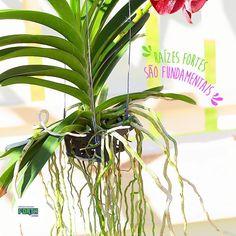Bom dia amigos plantadores!🌱  As raízes fortes são fundamentais para o desenvolvimento de nossas amiguinhas orquídeas. Os enraizadores são bastante utilizados, principalmente em replantios, pois favorecem o crescimento das raízes, responsáveis pela absorção dos nutrientes do solo, e com isso melhoram a qualidade e o vigor das flores. 🌺