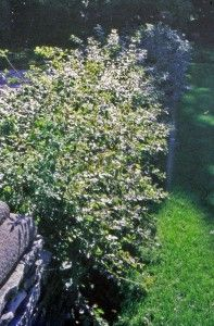 Great for monarch butterflies. Fragrant sumac is a three-foot-tall shrub. Its recumbent branches grow long and then curve up at the ends, beautiful as a low hedge at the top of a retaining wall, where the branches can hang down.