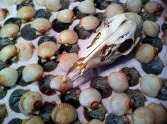 Natural Supply Real Scallop Shells From Coastal Florida by BoneLust on Etsy