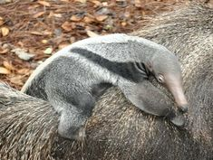 These are Giant Anteaters, at Roger Williams Zoo, S. Bend, Indiana. Momma (Corndog) gave birth to a cute little girl (name?), who'll ride on mom's back for her first year. When grown, she too, will have 4 inch claws and a 2 foot tongue to eat ants with! Yum!