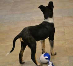 Looking for a dog that can keep up with your active lifestyle?  Zeike is a Cattle Dog mix pup that loves to play.  He is tri-color with freckled legs and feet.  This pup is super smart and athletic with plenty of energy.  He will excell at agility...