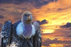 Earth & Animals Magazine: WHY VULTURES MATTER