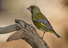 Verderon - European greenfinch by Rafael Sanchez Sanchez  on 500px