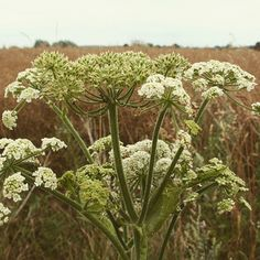 #wiesenbärenklau Kraut, Africa, Plants, Shrubs, Medicinal Plants, Plant, Planets