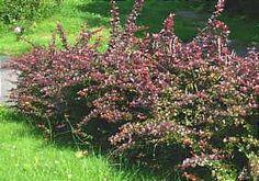 Berberis thunbergii 'Atropurpurea' Agracejo rojo, Berberis