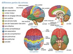 Diagram Of The Human Brain And Functions . Diagram Of The Human Brain And Functions Brain Anatomy Diagrams Human Brain Diagram And Functions Anatomy Occupational Therapy, Physical Therapy, Cerebral Cortex, Cerebral Palsy, Frontal Lobe, Traumatic Brain Injury, Brain Injury Recovery, Stroke Recovery, Speech Pathology