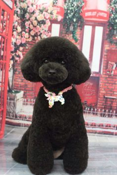 japanese style poodle - Google Search