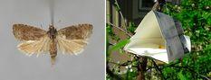 Larver i plommonen är inte kul... Men det finns ett smart och enkelt sätt att bli av med problemet! Moth, Insects