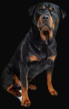 dog rottweiller www.patrickguilfoyle.org