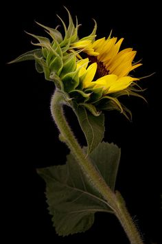 A Sunflower Withstanding the Winds. Happy Flowers, Flowers Nature, Yellow Flowers, Beautiful Flowers, Sun Flowers, Sunflowers And Daisies, Sunflower Art, Polychromos, Belleza Natural