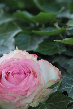 Esperance Rose in rosa