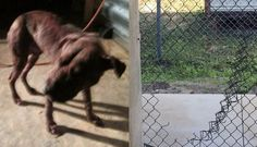 Dog Saved From Life Of Violence Is Stolen Back By Dogfighters