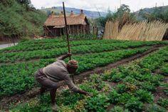 Woman gardening, Papua New Guinea