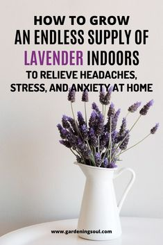Basic Fashion Tips How to Grow an Endless Supply of Lavender Indoors to Relieve Headaches Stress and Anxiety at Home.Basic Fashion Tips How to Grow an Endless Supply of Lavender Indoors to Relieve Headaches Stress and Anxiety at Home Diy Gardening, Gardening For Beginners, Container Gardening, Gardening Vegetables, English Lavender Plant, Lavender Plants, Lavender Plant Care, Planting Lavender, Lavender Garden